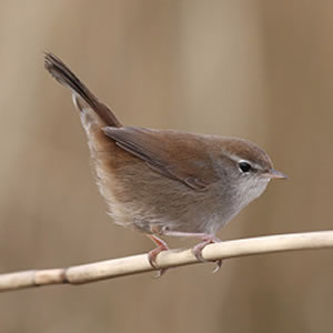 How to photograph a Cetti's Warbler?