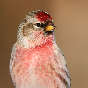 Sexing and ageing redpolls