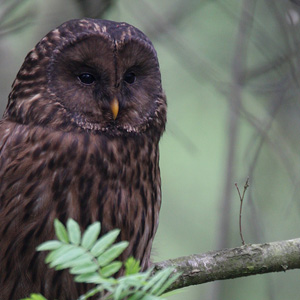 Brown Ural Owl, Poland 2008
