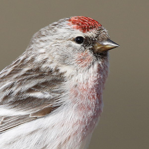 Redpolls from Barrow, June 2015