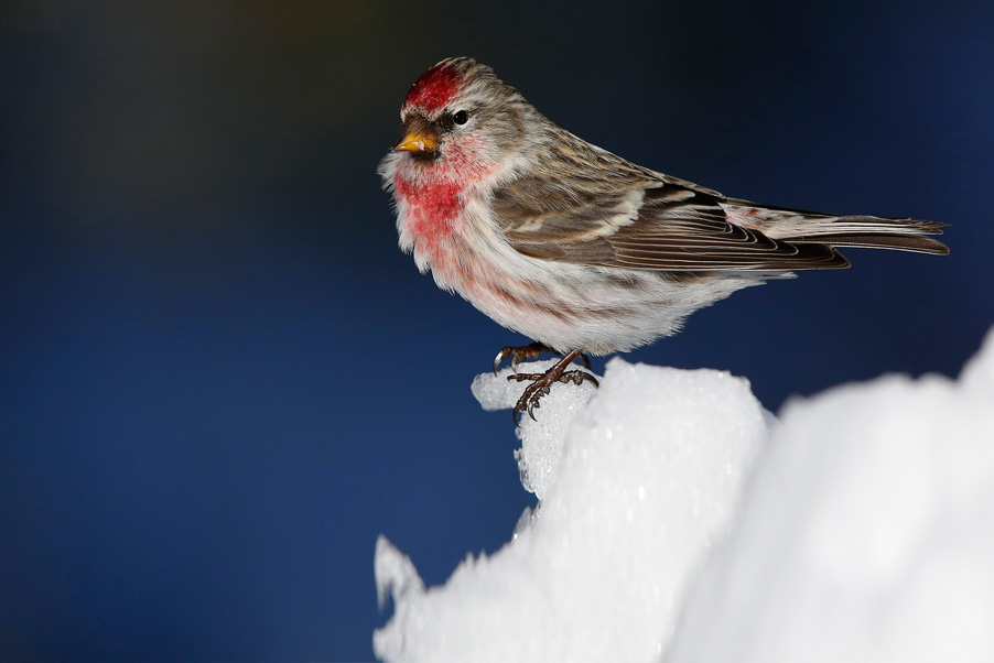 There are different species of redpolls and not always easily identified in the field...
