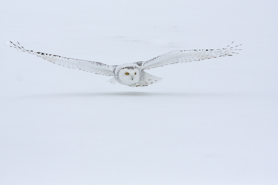 In January, 2010, I visited Canada to photograph Snowy Owls...